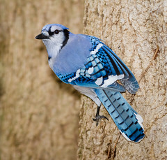 The return of 'Broken Wing' (tresed47) Tags: 2016 201611nov 20162611chestercountybirds birds bluejay canon7d chestercounty content folder home pennsylvania peterscamera petersphotos places takenby us