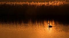 Lonely in the golden morning (marielledevalk) Tags: swan serene water sunrise sky sun outdoor animal bird golden orange biesbosch holland morning netherlands nature