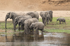 34-South_Africa-2016 (Beverly Houwing) Tags: banks crocodileriver drink elephant herd krugerpark southafrica water