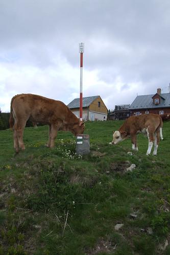 Cows, 28.05.2009.