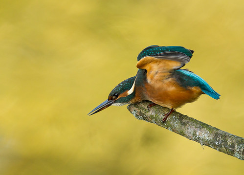Kingfisher gymnastics ...
