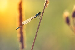 5 o'clock in da morning (Stadt_Kind) Tags: sonyilce7 mostinteresting popular europe germany bavaria kempten stadtkind depthoffield dof bokehlicious bokeh insekt libelle dtagonfly dragon macro macrophotography nature naturephotography