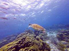 Green Turtle - Bonaire Marine Park, special municipality of the Netherlands (Dutchflavour) Tags: greentrutle cheloniamydas coral bonaire bonairemarinepark fish ocean diving sea