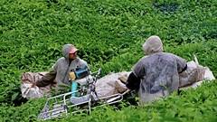 Tea picking (zolsimpression) Tags: tea teapicking cameronhighland bohtea sungaipalas zolsimpression zolmuhd fujifilm fujinon xpro2 manatwork