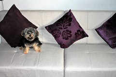 Flo on new sofa (2) (@oakhamuk) Tags: flo new sofa dog puppy yorkiepoo