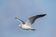 herring gull #2 (scilly puffin) Tags: larus gull islesofscilly