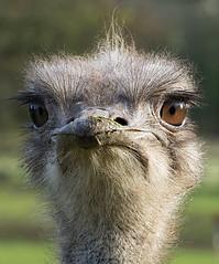 Pretty bird (ORIONSM) Tags: ostrich bird portrait dartmoorzoo beak eyes beady olympus omdm10 lumix100300mm