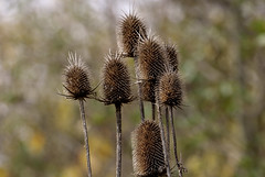 Still standing proud (Sky_PA (On and Off)) Tags: thistles dry bokeh autumn fall nature plants flowers amateurphotography canoneos rebelt6i t6i depthoffield inspiredbylove outdoor pennsylvania