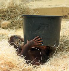 orangutan ouwehands JN6A6830 (j.a.kok) Tags: orangutan orangoetan orang mensaap primaat primate aap ape monkey ouwehands ouwehand ouwehandsdierenpark ouwehandszoo