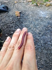 Red Millipede (gingerbreadtot) Tags: asus zenfone5 phone taiwan 2016 millipede myriapoda