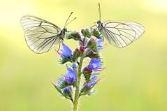 Showtime II... (Zbyszek Walkiewicz) Tags: butterflies butterfly sony sunrise closeup insects