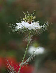 Love in the Mist (Scottmh) Tags: australia nikon victoria d7100 flora flower garden love mist white outdoor macro melbourne