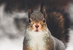 Staring contest (Nippe16) Tags: squirrel wildlife nature portrait