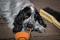 Echo (ausmc_1) Tags: november portalberni englishcockerspaniel tamronsp70200mmf28usddivc d800 blueroan echo dog puppy canada 2016 britishcolumbia canine vancouverisland female