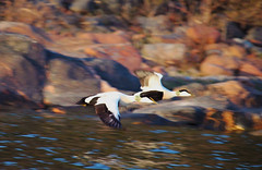 Ejder (Michaela F.lind) Tags: canon aland photography birds