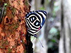 Blue-stitched Eighty-eight (d_taron) Tags: ecuador butterflies nymphalidae nymphalinae callicore callicoreastarte