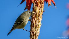 Ruby-crowned Kinglet (Bob Gunderson) Tags: birds california fortmason kinglets northerncalifornia rubycrownedkinglet sanfrancisco