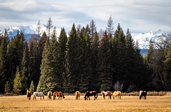 Nice Day for Grazing (ebhenders) Tags: horses fall montana mission mountains snow pasture grazing swan valley