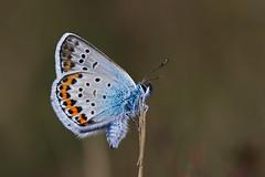 Plebejus argus (JoseDelgar) Tags: insecto mariposa plebejusargus josedelgar 1001nights 1001nightsmagiccity coth thegalaxy contactgroups coth5 alittlebeauty specanimal