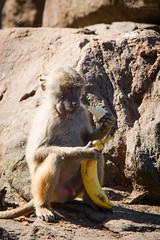 Baboon (Cloudtail the Snow Leopard) Tags: mantelpavian zoo neunkirchen tier animal mammal sugetier pavian affe monkey hamadryas baboon papio