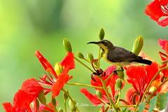 Purple sunbird (Dr. suhas Sarawade) Tags: purple sunbird nikon d7000 nikkor 80400mm