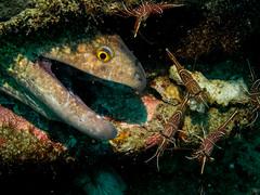 Moray eel with cleaner shrimp (Jose Fontenla Photography) Tags: ocean sea fish water mantis puerto marine underwater snake philippines dive shrimp scuba diving nudibranch eel wreck galera moray mindoro mv batfish dragonet almajane