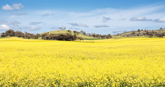 - (B.M.K. Photography) Tags: canola rapeseed field yellow flowers hills trees sky clouds wheat green panorama australia