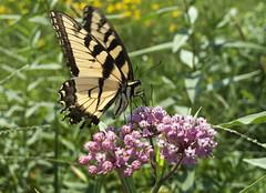 Monarch on Milk Weed (tcd123usa) Tags: meadows milkweed monarchbutterfly coverdalefarm leicadlux4 delawarepollinatorproject plantingmeadows