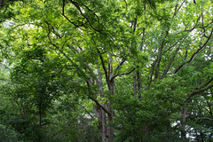Summertime Green! (marylea) Tags: midwest michigan 2015 trees green summer jun17 rural road tree woods wood forest