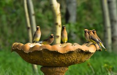 Waxwings (lseankey) Tags: trees grass birds spring birdbath wildlife northdakota cedarwaxwing williamscounty prairiescape nikond7000 nikon28300mm nd2015contest
