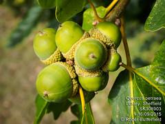 Sessile Oak (Roger B.) Tags: oak unitedkingdom sheffield acorn southyorkshire quercuspetraea sessileoak archergateopenspace