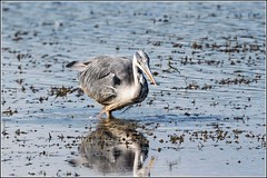 Grey Heron Fishing (Smudge 9000) Tags: summer england heron grey fishing unitedkingdom wildlife gb 2015 yealandredmayne rspbleightonmoss