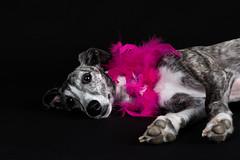 It's hard being a Diva (Jen St. Louis) Tags: dog pet ontario canada studio elmira whippet diva pawprints dogphotography petportrait petphotography dogportrait jenstlouis wwwpawprintsphotosca