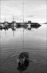 Evening Bath (Eline Lyng) Tags: leica sunset sea dog animal norway goldenretriever boats evening eveningsun retriever larkollen leicamonochrom aposummicron50mm