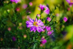 Flower (JRT ) Tags: park autumn sun sunlight flower grass leaves sunshine stem birmingham nikon shoot dof bokeh sunny recreation colourful cannonhillpark d40x absoluteimages jrwphotography johnwarwood flickrjrt jrwphotographycouk
