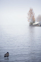 quiet waters (amorelia) Tags: lake bird fog landscape mallard waterscape