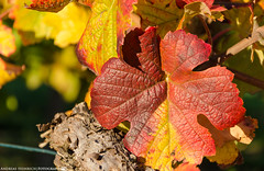 Autumn in the Vineyards. (andreasheinrich) Tags: autumn germany deutschland october colorful warm herbst sunny vineyards sonnig badenwrttemberg weinblatt weinberge farbenfroh vineleaf nikond7000