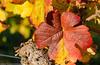 Autumn in the Vineyards. (andreasheinrich) Tags: autumn germany deutschland october colorful warm herbst sunny vineyards sonnig badenwürttemberg weinblatt weinberge farbenfroh vineleaf nikond7000