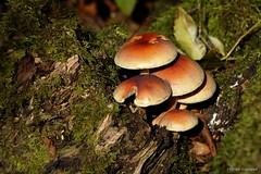 2015-10-09_01 Champignons HDR (Olivier Alexandre Legrand) Tags: nature hdr bois champignons