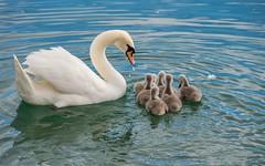 swan's family (10) (Vlado Ferenčić) Tags: swansfamily swans swan lakes lakezajarki zajarki zaprešić croatia hrvatska animals birds nikond600 nikkor8020028 specanimal vladoferencic vladimirferencic