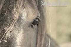 Henden Namdar (catten63) Tags: horse pony stallion hst ponny hingst caspianhorse