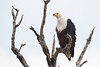 African fish eagle (Haliaeetus vocifer) perched in a dead tree (Dave Montreuil) Tags: africa fish tree nature adult eagle african wildlife south east raptor malawi perched regal fisheagle haliaeetus perching vocifer