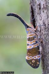 38384 A lantern bug (Pyrops spinolae) on a tree in Phanom Bencha National Park, Krabi, Thailand. (K Fletcher & D Baylis) Tags: animal fauna insect thailand asia wildlife krabi planthopper lanternbug fulgoridae lanternfly pyrops khaophanombenchanationalpark pyropsspinolae september2015