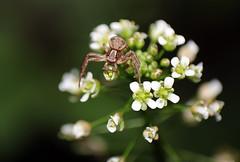 Thomise (Carahiah) Tags: macro nature fleur fleurs spider fear yeux blanc position araigne aracnid attaque mfiance