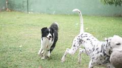 DSC02942 (agorayebm) Tags: dog bordercollie dalmatian crick dlmata
