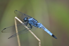 Orthetrum sp., Danjing Shan July 2015 (Aidehua2013) Tags: china insect dragonfly sichuan unidentified invertebrate odonata libellulidae anisoptera orthetrum danjingshan