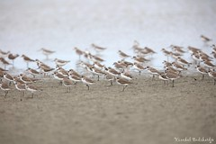 The Army (Vinchel) Tags: bird nature animal canon outdoor wildlife malaysia mersing 400mm 5dsr
