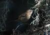 In the Spotlight (PeterBrannon) Tags: bird florida nature pinewarbler polkcounty setophagapinus songbird warbler wildlife yellowbird lighting portrait spanishmoss hatchyear