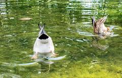 Al agua patos! (Porschista) Tags: barcelona pedralbes catalunya patos anecs ducks estanque estany