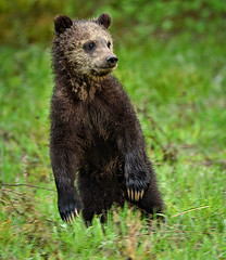 Grizzly Cub 2015 (Jeff Clow) Tags: wild usa nature cub wildlife bearcub jacksonholewyoming grizzlybearcub wildgrizzly wildbearcub